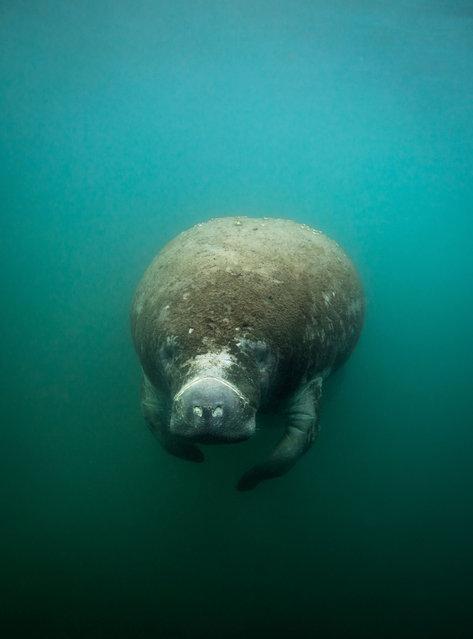 West Indian manatees – or sea cows – are found throughout the Caribbean but there loss of habitat, entanglement in fishing gear and collisions with boats threaten the population. (Photo by Philip Hamilton/The Guardian)