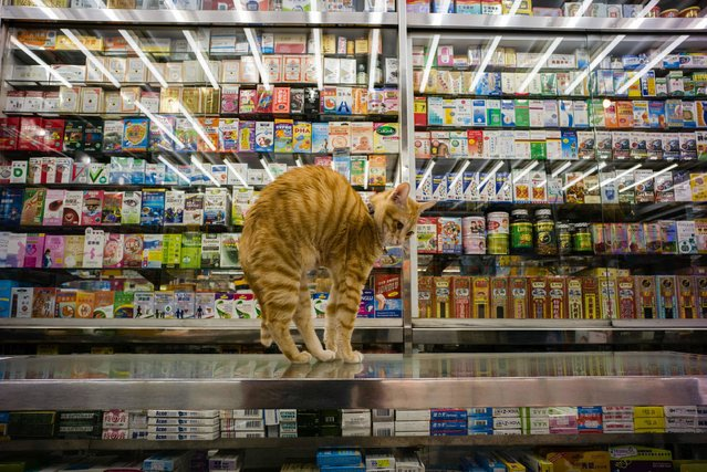 "In this photo taken on December 12, 2016, a cat streches on a counter top in a Chinese and western medicine shop in Hong Kong. Four-legged ""assistants"" can be found perched in certain shops across Hong Kong, keeping a nonchalant eye on business while the city does its non-stop bustle past their storefronts. (Photo by Anthony Wallace/AFP Photo)"