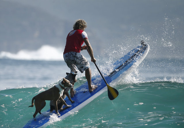 Australian dog trainer and former surfing champion Chris de Aboitiz rides a wave with his dogs Rama (L) and Millie off Sydney's Palm Beach, February 18, 2016. (Photo by Jason Reed/Reuters)