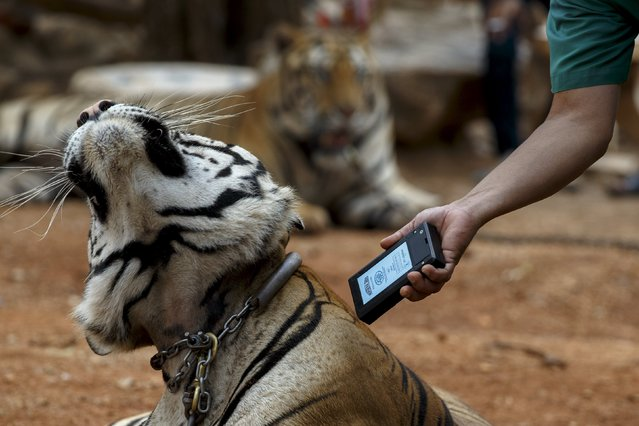 An official scans a microchip on a tiger during a head count at the Wat Pa Luang Ta Bua, otherwise known as the Tiger Temple, in Kanchanaburi province, Thailand, April 24, 2015. (Photo by Athit Perawongmetha/Reuters)