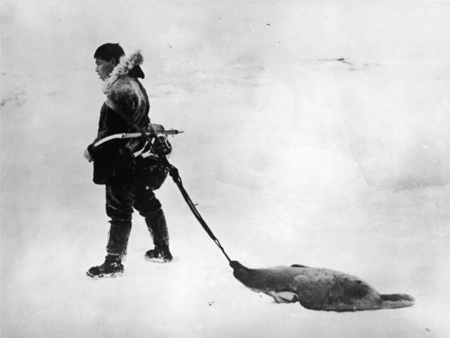 An Inuit hunter in Canada drags the carcass of a seal behind him, March 1924. (Photo by Topical Press Agency/Hulton Archive/Getty Images)