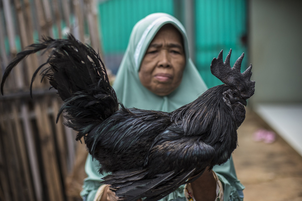 Indonesian Rare All-Black Chickens