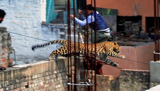 In this Sunday, February 23, 2014 photo, an Indian man moves out of the way of a leopard in the northern Indian city of Meerut, India. Forestry officials and police armed with tranquilizer darts searched for a leopard that injured six people in the northern Indian city, creating panic and driving people indoors, police said Tuesday. (Photo by AP Photo)