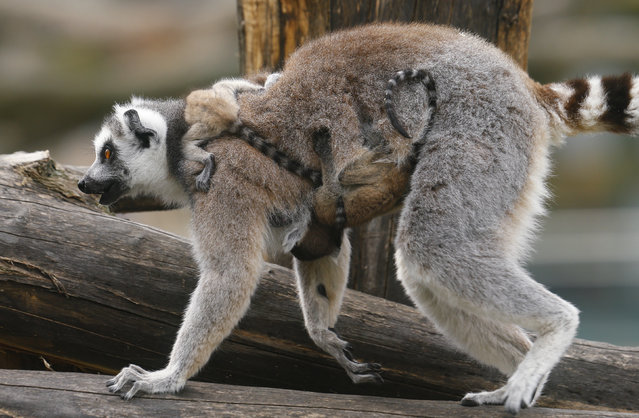 A Lemur catta, also known as ring-tailed lemur, with eleven-day-old cubs clinging to its neck and belly, walks along a tree at the Schoenbrunn zoo in Vienna, Austria, April 1, 2016. (Photo by Heinz-Peter Bader/Reuters)