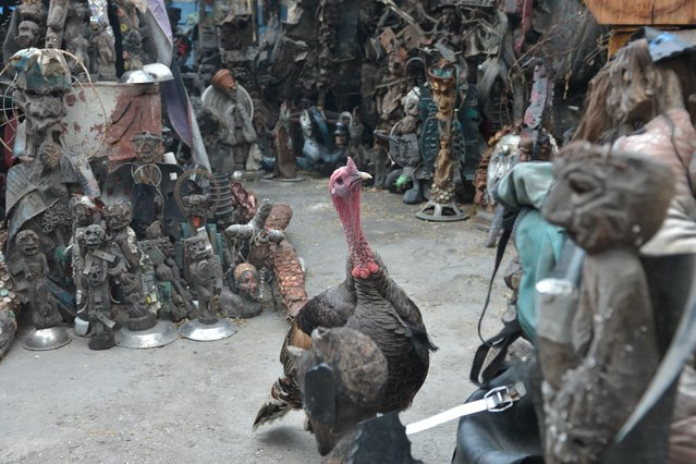 In this April 4, 2016 photo, a turkey struts through an open-air museum and art workshop off a trash-strewn street cutting through some of the poorest neighborhoods in Port-au-Prince, Haiti. The site was created by a loose collective of Haitian artists called Atis Rezistans who have become celebrated in the international art world. Over the last decade, the work of Atis Rezistans has been exhibited in cities such as Paris, London, and Los Angeles. (Photo by David McFadden/AP Photo)