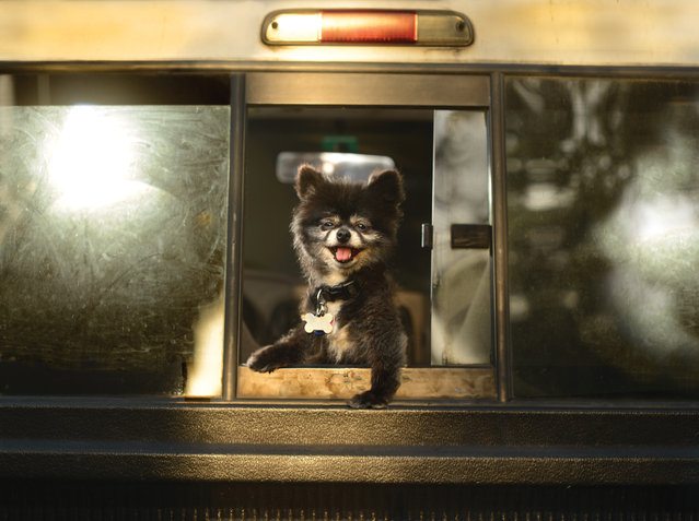 "A toy Pomeranian peers out from a bus window in Los Angeles, California. A wacky photographer has come up with an unusual pet project – snapping ecstatic dogs as they hang their heads out of car windows. Lara Jo Regan, 48, embarked on the odd task for her new 2014 calendar ""Dogs In Cars"". The unusual shoot, which took place in Los Angeles, California, aimed to explore the joy experienced by pugs and huskies when a breeze hits their faces. (Photo by Lara Jo Regan/Barcroft Media)"