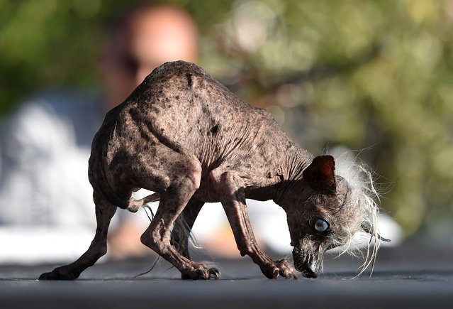 Sweepee Rambo, a Chinese Crested, is presented to judges during the World's Ugliest Dog Competition in Petaluma, California on June 26, 2015. (Photo by Josh Edelson/AFP Photo)