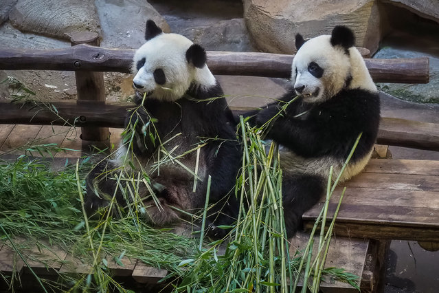 Panda cub Yuan Meng (R) and its mother Huan Huan eat bamboo in their enclosure at the Zoo de Beauval in Saint-Aignan-sur-Cher, central France on August 26, 2019. (Photo by Guillaume Souvant/AFP Photo)