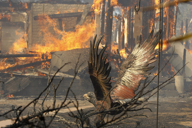 A house burns near an eagle sculpture at the Cocos fire on May 15, 2014 in San Marcos, California. Fire agencies throughout the state are scrambling to prepare for what is expected to be a dangerous year of wildfires in this third year of extreme drought in California. (Photo by David McNew/Getty Images)
