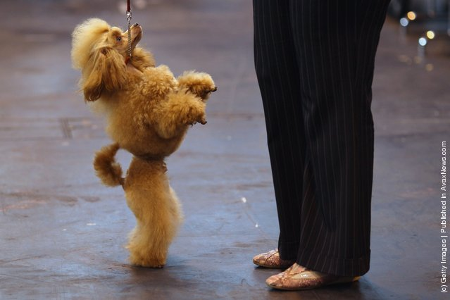 A Poodle stands on it's back legs on Day one of Crufts at the Birmingham NEC Arena