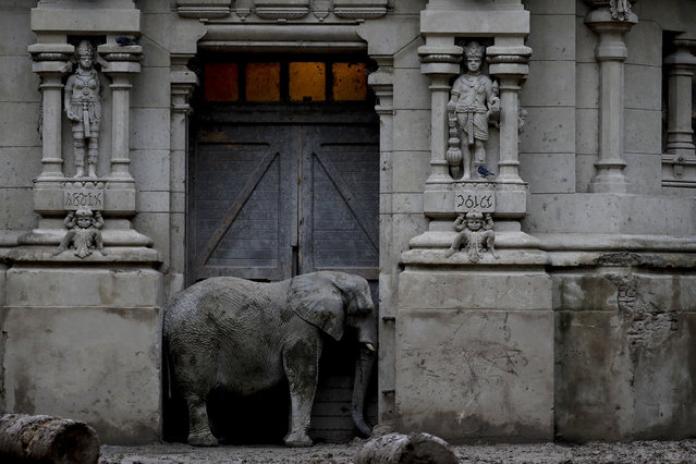 In this May 12, 2017 photo, Pupy, an African elephant, stands in the doorway of his enclosure at the former city zoo now known as Eco Parque in Buenos Aires, Argentina. A year ago the 140-year old Buenos Aires zoo closed its doors and was transformed into a park. The first director decided that the animals should be housed in buildings that reflected their countries of origin. A replica of a Hindu temple was built for the Asian elephants. (Photo by Natacha Pisarenko/AP Photo)