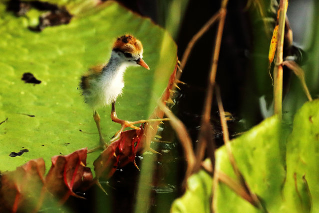 A tiny jacana chick strides confidently over Amazonian waterlilies on a lake next to the Rewa river in Guyana. (Photo by Kevin Rushby/The Guardian)