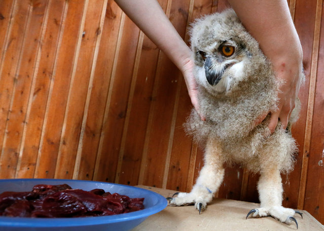 A zoo employee feeds a 3-week-old Eurasian eagle owl at the Royev Ruchey zoo on the suburbs of the Siberian city of Krasnoyarsk, Russia June 7, 2016. (Photo by Ilya Naymushin/Reuters)