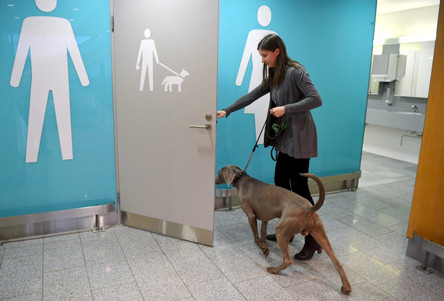 A Weimaraner called Moritz goes into a pet relief area at the Helsinki International Airpot in Vantaa, Finland on January 20, 2020. The Helsinki Airport has recently installed two pet relief areas for animals. The pet toilet has been designed with dogs in mind, but other pets are also welcome. (Photo by Jussi Nukari/Rex Features/Shutterstock)
