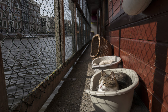 In this Wednesday, August 2, 2017 photo, Borre, an 8-year-old cat sits in a basket next to the canal on the Catboat shelter in Amsterdam, Netherlands. (Photo by Muhammed Muheisen/AP Photo)