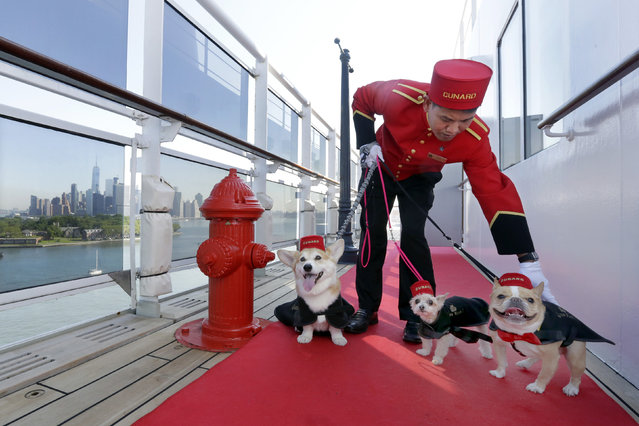 Kennel Master Oliver Cruz tends to celebrity dogs Wally, from left, Ella and Chloe outside the kennel aboard the ocean liner Queen Mary 2, docked at her homeport at the Brooklyn Cruise Terminal in New York, Wednesday, July 6, 2016. The Cunard ship underwent $132-million of renovations that includes, for its four-legged passengers, additional kennels, more play space and an owner's lounge. (Photo by Richard Drew/AP Photo)