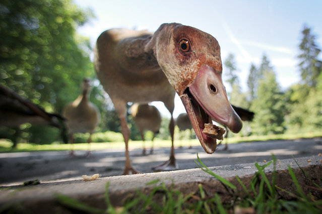 An Egyptian Goose eats a breadcrumb at the spa gardens in Bad Schwalbach, western Germany on July 24, 2012. Meteorologists forecast sunny weather for the upcoming days in Germany. (Photo by Fredrik von Erichsen/AFP)