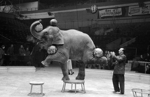 A performing Indian elephant balances four balls on its trunk, head and feet during a rehearsal for a show by Jack Hylton's circus at Earl's Court in London. 16th January 1954. (Photo by Maurice Ambler)