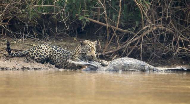 A jaguar ambushes a giant jacare caiman high up on the Three Brothers River in the Pantanal in Mato Grosso, Brazil. The cat wrestled with the reptile for over twenty minutes in a death struggle witnessed by photographer Chris Brunskill just after ten o'clock in the morning on the 26th of September, 2017. Caimans form a large part of the jaguar's diet in the Pantanal but battles such as this are very rarely observed and seldom photographed. (Photo by Chris Brunskill Ltd/Getty Images)