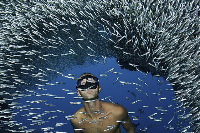 Divers swim beside millions of silverside fish at Devil's Grotto, Cayman Islands. Swimming in unison, millions of silverside fish dwarf the divers. The fish create waves of silver light as they move around the grottos that lie beneath the surface of the Caribbean Sea. These amazing photographs were captured by Belgian photographer Ellen Cuylaerts, 44, on a diving trip to the Devil's Grotto, Cayman Islands. (Photo by Ellen Cuylaerts/This is Guavo Media)