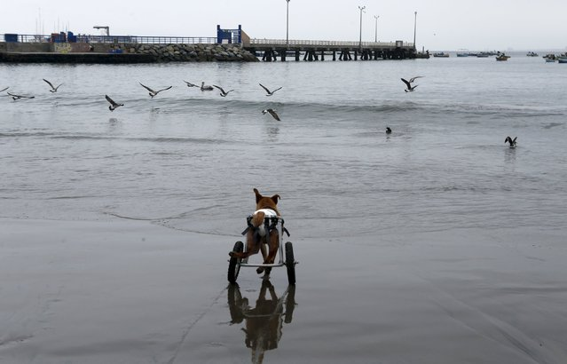Pelusa, a paraplegic dog in a wheelchair, runs after seagulls at Pescadores beach in Chorrillos, Lima, September 7, 2015. Sara Moran has an animal shelter called Milagros Perrunos where she cares for stray dogs and shelters dogs injured from traffic accidents or domestic abuses. With donations and raffle, Moran purchases wheelchairs, food and medical treatment for the dogs at her shelter. (Photo by Mariana Bazo/Reuters)