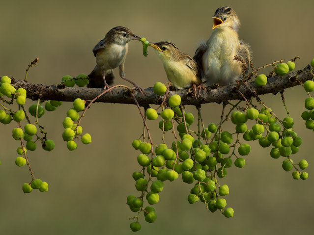 """Mom's Love"". The Mother Bird,feeding time. Photo location: Jakarta. (Photo and caption by Cherly Jong/National Geographic Photo Contest)"
