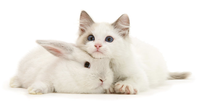 Colour-point lop rabbit baby with Lilac Ragdoll kitten. (Photo by Mark Taylor/Warren Photographic/Caters News Agency)