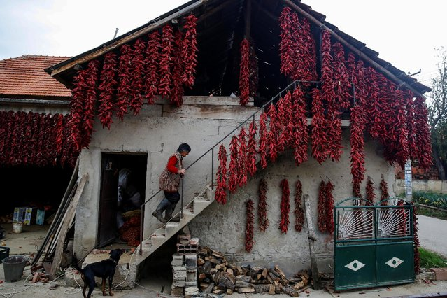 A woman walks up the stairs as bunches of paprika hang on the wall of her house to dry in the village of Donja Lakosnica, Serbia October 6, 2016. (Photo by Marko Djurica/Reuters)