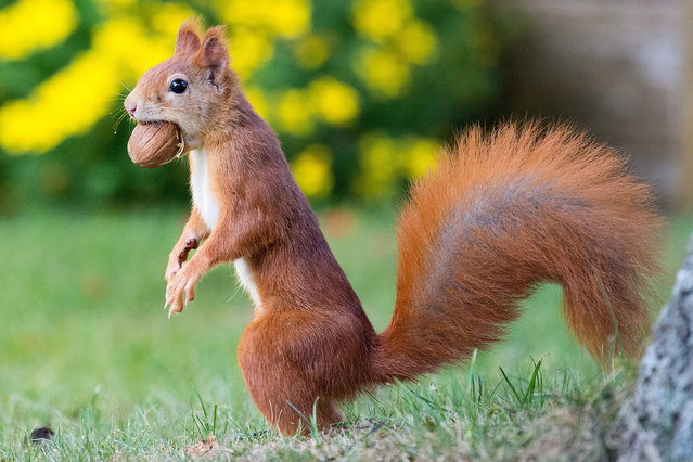 A squirrel carries a walnut in its mouth in Rotenburg, Germany, 04 October 2016. (Photo by Daniel Reinhardt/EPA)