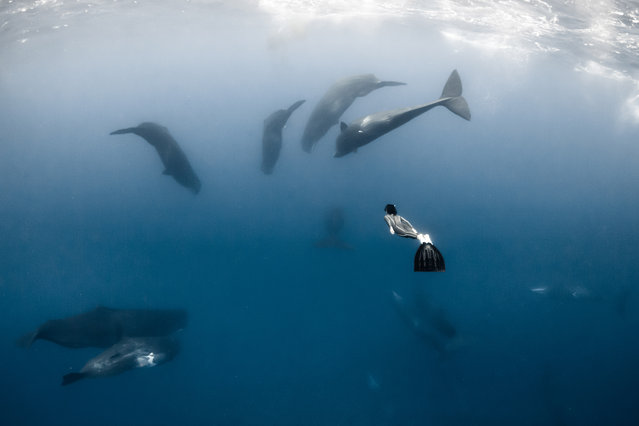 A diver with a sperm whales. (Photo by Alexandre Roubaud/Alexandre Voyer/Caters News)