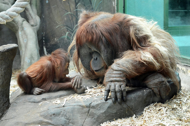 This is the adorable moment a baby orang-utan was seen showing daddy its boo-boo after hurting itself whilst playing. Captured in a sequence of lovable images, the youngster is seen holding out its hand before it gets dad to kiss it better. The tender moment was seen at Moscow Zoo, after the little one managed to take a tumble whilst swinging on its tyre. (Photo by Olga Dmitrieva/Caters News)