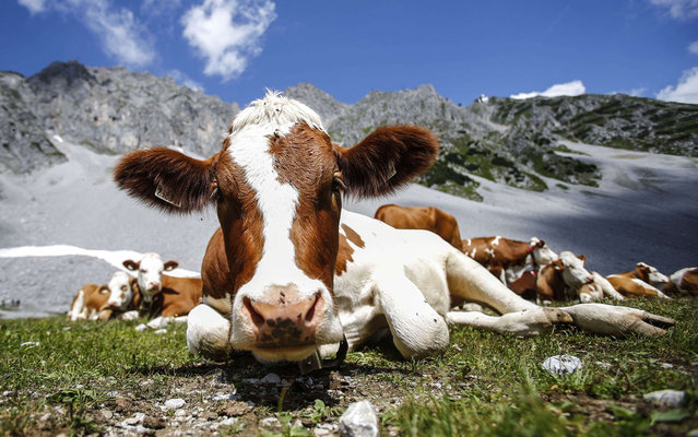 Cows lie in grass in front of Hafelekar mountain on a hot summer day in Innsbruck July 25, 2013. (Photo by Dominic Ebenbichler/Reuters)