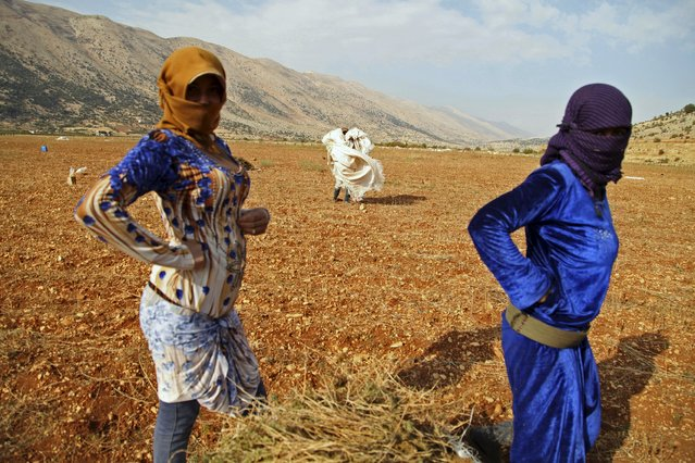 Aisha, 15, (L) (who asked to withhold her last name), a Syrian refugee from Raqqa, waits with a fellow refugee while harvesting cannabis in the Bekaa valley, Lebanon October 19, 2015. Syrian refugees work to harvest and process spiky-leafed cannabis plants in neighbouring Lebanon's Bekaa Valley. (Photo by Alia Haju/Reuters)
