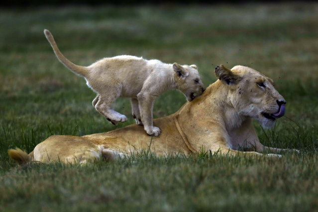 A young lion cub plays with a female lion at the Lion Park outside Johannesburg, South Africa, Wednesday February 4, 2015. (Photo by Jerome Delay/AP Photo)