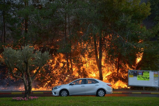A car drives past burning trees as a wildfire rages in the northern city of Haifa, Israel November 24, 2016. (Photo by Gil Eliyahu/Reuters)