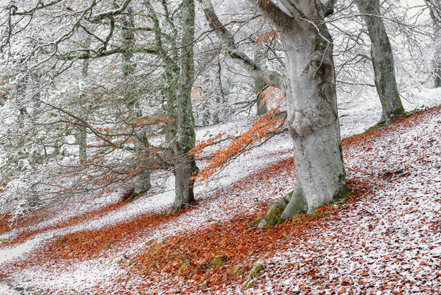 Wild woods winner: Seasonal Overlap (European Beech), Aviemore, Highlands, Scotland. (Photo by James Roddie/British Wildlife Photography Awards)