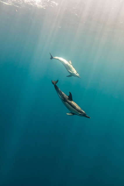 Common dolphins display a variety of playful behaviours, from breaching and somersaulting to playing in the bow waves of boats. (Photo by Philip Hamilton/The Guardian)