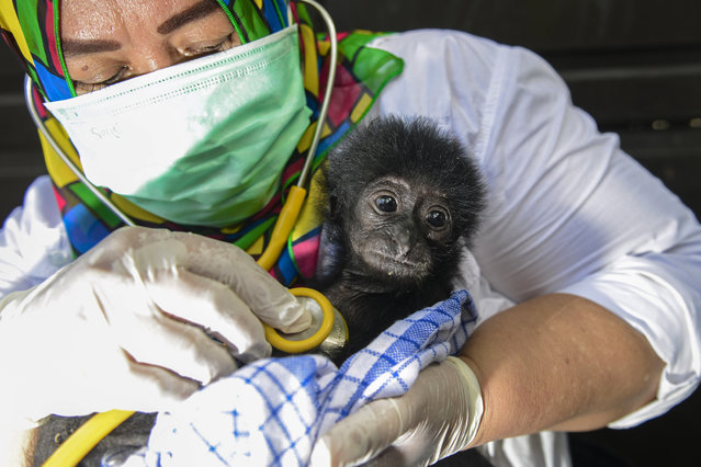 A veterinarian tends to a rescued baby black gibbon (symphalangus syndactylus) at a local nature conservation agency's office in Banda Aceh, Aceh province on September 13, 2018. A local nature conservation agency seized the two month-old siamang, or black-furred gibbon, from a villager suspected of being an animal trader. Siamangs are listed as 'endangered' in the International Union for Conservation of Nature (IUCN) Red List. (Photo by Chaideer Mahyuddin/AFP Photo)