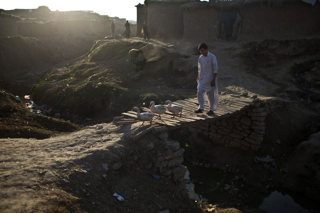 Ducks cross a wooden bridge over a stream of rain water and sewage in a slum that hosts Afghan refugees and internally displaced Pakistanis from tribal areas on the outskirts of Islamabad, Pakistan, Saturday, February 14, 2015. (Photo by Muhammed Muheisen/AP Photo)