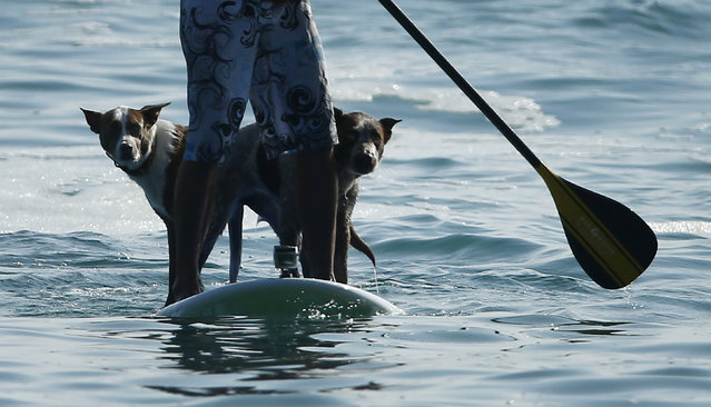 Australian dog trainer and former surfing champion Chris de Aboitiz waits for a wave with his dogs Rama (L) and Millie off Sydney's Palm Beach, February 18, 2016. (Photo by Jason Reed/Reuters)