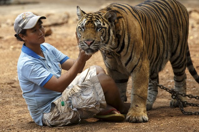 A volunteer plays with a tiger during a head count at the Wat Pa Luang Ta Bua, otherwise known as the Tiger Temple, in Kanchanaburi province, Thailand, April 24, 2015. (Photo by Athit Perawongmetha/Reuters)