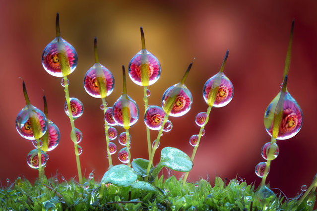 "Ever wondered what life is like in miniature? An Italian photographer has perfected his own brand of macro photography with stunning pictures of miniscule drops of dew on flowers. Alberto Ghizzi Panizza, 40, has been a photographer for 18 years and specializes in macro images. All of these pictures were taken on the riverbanks of the Po River, in northern Italy, as Panizza pursued his passion for nature. ""I'm deeply fond of nature and animals and always look for the beauty in the world around us"", Panizza said. (Photo by Alberto Ghizzi Panizza/Caters News)"