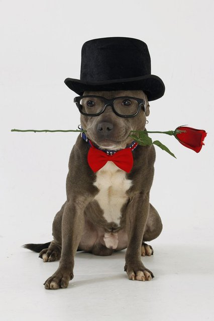 Bailey the Staffordshire bull terrier, holding a red rose. (Photo by Helen Yates/Barcroft Media)