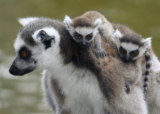 A Lemur catta, also known as ring-tailed lemur, with eleven-day-old cubs clinging to its back, sits on a tree at the Schoenbrunn zoo in Vienna, Austria, April 1, 2016. (Photo by Heinz-Peter Bader/Reuters)