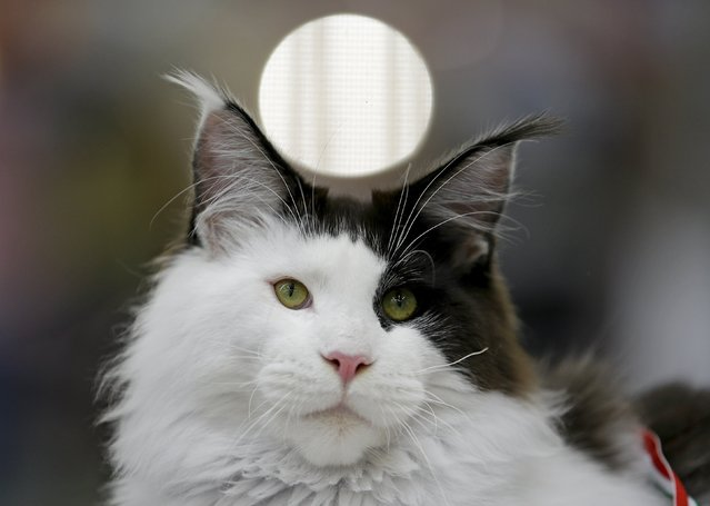 A Maine Coon cat is seen during the Mediterranean Winner 2016 cat show in Rome, Italy, April 3, 2016. (Photo by Max Rossi/Reuters)