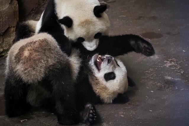Panda cub Yuan Meng (Bottom) play with its mother Huan Huan in their enclosure at the Zoo de Beauval in Saint-Aignan-sur-Cher, central France on August 26, 2019. (Photo by Guillaume Souvant/AFP Photo)