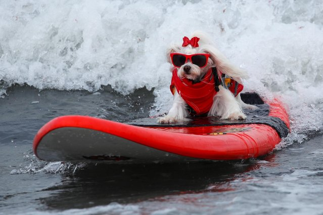 "Flofy rides a wave as she competes at the 14th annual Helen Woodward Animal Center ""Surf-A-Thon"" where more than 70 dogs competed in five different weight classes for ""Top Surf Dog 2019"" in Del Mar, California, U.S., September 8, 2019. (Photo by Mike Blake/Reuters)"
