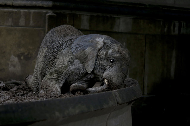 In this May 12, 2017 photo, African elephant Pupy lies on a patch of mud at the former city zoo now known as Eco Parque, in Buenos Aires, Argentina. The three elephants residing at Eco Parque, Mara, Pupy and Cucy, have a lawyer representing them to demand better conditions. (Photo by Natacha Pisarenko/AP Photo)