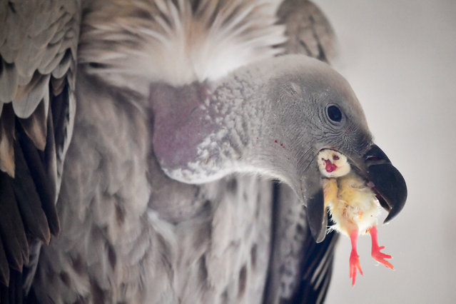 A cape vulture eats a chick at the International Centre for Birds of Prey, a conservation centre in Newent, Gloucestershire, UK. (Photo by Ben Birchall/PA Wire Press Association)