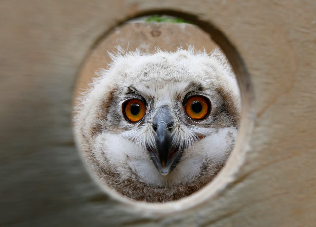 A 3-week-old Eurasian eagle owl looks out of a wooden box at the Royev Ruchey zoo on the suburbs of the Siberian city of Krasnoyarsk, Russia, June 7, 2016. (Photo by Ilya Naymushin/Reuters)